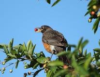 Robin που σκαρφαλώνει στο δέντρο που φορτώνεται με τα μούρα στοκ φωτογραφία