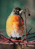 Robin που σκαρφαλώνει στο κλαδί δέντρων Στοκ Εικόνα