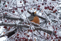 Robin που σκαρφαλώνει στο παγωμένο δέντρο Στοκ Εικόνες