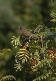 Robin που συλλέγει τα μούρα από το δέντρο Στοκ Φωτογραφία