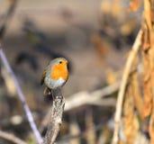 Robin που τίθεται στον κλάδο Στοκ εικόνα με δικαίωμα ελεύθερης χρήσης