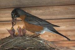 Robin που ταΐζει τις νεολαίες της στοκ εικόνες