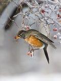 Robin που τρώει τα παγωμένα κόκκινα μούρα Στοκ Φωτογραφίες