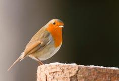 Robin σε ένα forsty κούτσουρο Στοκ φωτογραφίες με δικαίωμα ελεύθερης χρήσης