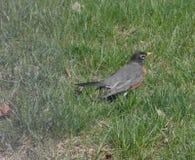 Robin στη χλόη 2 Στοκ φωτογραφίες με δικαίωμα ελεύθερης χρήσης