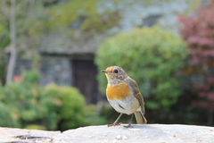 Robin στον κήπο χωρών Στοκ φωτογραφία με δικαίωμα ελεύθερης χρήσης