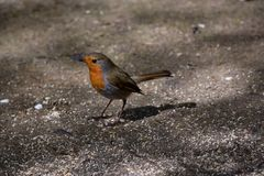 Robin στο έδαφος Στοκ Εικόνες