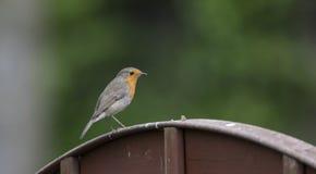 Robin στο φράκτη Στοκ Εικόνες