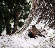 Robin στο χιόνι Στοκ φωτογραφίες με δικαίωμα ελεύθερης χρήσης