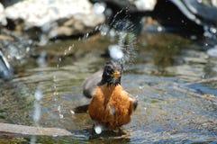 Robin брызгая воду Стоковые Фото