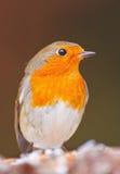 Robin в зиме, крупном плане Стоковая Фотография