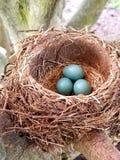 Robin' гнездо s с яйцами в естественном свете стоковая фотография rf