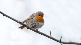 Robin сидит на ветви Стоковое фото RF