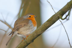 Robin (画眉rubecula) 库存照片