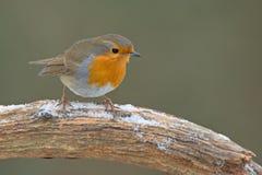 Robin (画眉rubecula) 免版税库存图片