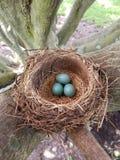 Robin& x27;s巢用在自然光的鸡蛋 免版税图库摄影