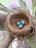 Robin& x27;s巢用在自然光的鸡蛋 免版税库存照片