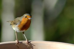 Robin 07. Close up of a robin in winter perched on a plant pot Royalty Free Stock Image