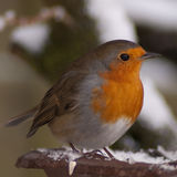Robin 1. A robin sitting on a snow covered branch on a cold winter morning royalty free stock image
