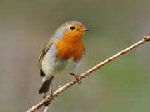 Robin. Bird with reddish-orange face and breast stock image