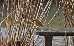 Robin. Sitting on park bench Royalty Free Stock Photography