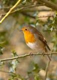 Robin Photos stock