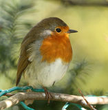 Robin. Portrait of a Robin perched on a branch Royalty Free Stock Photos