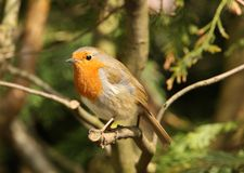 Robin. Portrait of a Robin perched on a branch Stock Photos