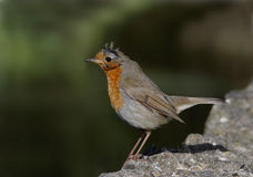 Robin. Adult Robin on rocky ledge Stock Image