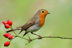 Free Robin Stock Photos - 12417503