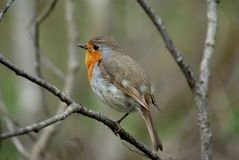 Robin. European robin (Erithacus rubecula) sits on branch with forest background Stock Image