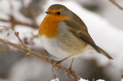 Robin. European red robin in winter Royalty Free Stock Photos