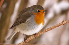 Robin. European red robin in winter Stock Image