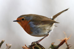 Robin. A close up of a Robin on the top of a trimmed hedgerow in winter stock images
