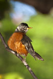 Robin Royalty Free Stock Photography