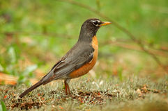 Robin. A Robin searches for food on the ground Stock Images