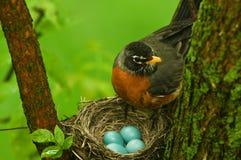 Robin Image stock