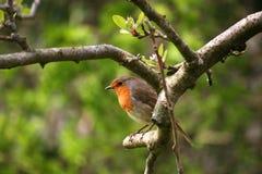 Robin στοκ εικόνα με δικαίωμα ελεύθερης χρήσης
