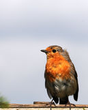 Robin Stock Foto