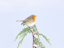 Free Robin Stock Photography - 17550692