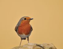 Robin. Robin on a yellow background Royalty Free Stock Photography