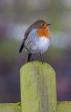 Robin Photographie stock libre de droits