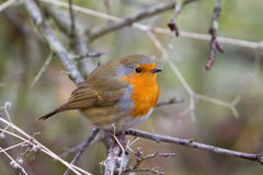 Robin. (Erithacus rubecula) perched in a shrub Royalty Free Stock Image