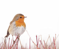 Robin. A Robin (Erithacus rubecula) perching on a bush Stock Images