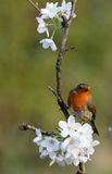 Robin. View of a robin on a cherry blossom Stock Photo