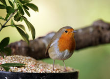 Robin. Portrait of a Robin feeding on seed Royalty Free Stock Image