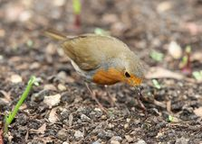 Robin. A Robin pulling up a worm to feed his young Stock Photo