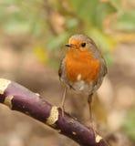 Robin. Portrait of a Robin feeding on seed Stock Photos