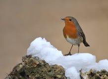 Robin. Royalty Free Stock Photo