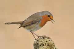 Robin. Royalty Free Stock Photography